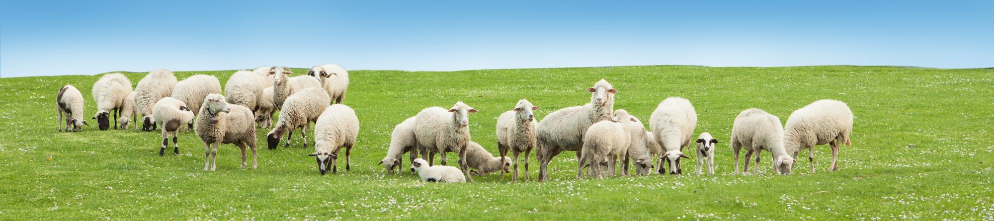 Sheeplac